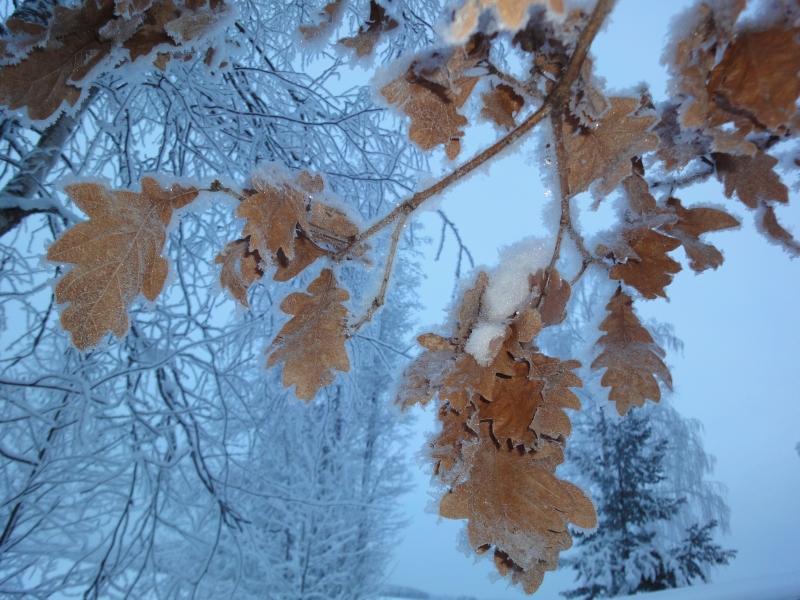 Tammikuussa lehti on aivan tammipuussa. Upea pakkassää ja niin kaunista luonnossa. Latasi kummasti akkuja tuo kylmyys.