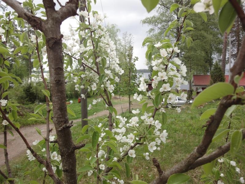 Ja näin upeassa kukassa tänään myös päärynämme.