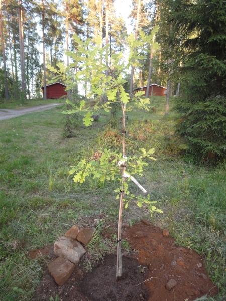 Tänään oma pieni arboretumini sai uuden puun, Tommyn Tammen. Kaunis.