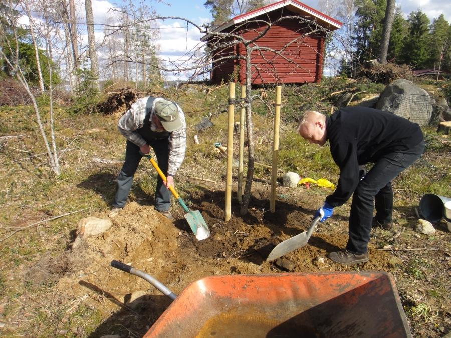 Tänään 29.4.2012 istutimme puutarhuri Lauri Sydänmaan kanssa Tapanimyrskyssä tuhoutuneen Rautatienomenapuun tilalle uuden samanlaisen.