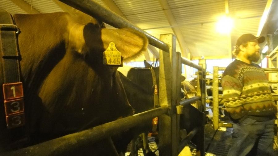 Tässä olemme jo kierroksen päätöskohteessa eli lähes 200 lehmän lypsykarjatila Hyvinkäällä. Aivan äärimmäisen siisti ja hieno tunnelmainen navetta. Ja lehmät kiertelivät suuressa navetassa vapaina ja suuntasivat silloin kun siltä tuntui lypsylle automaatille. Ja hyvin lypsivätkin. Keskiarvona tämän navetan lehmät kävivät lypsyllä 3,1 kertaa päivässä.