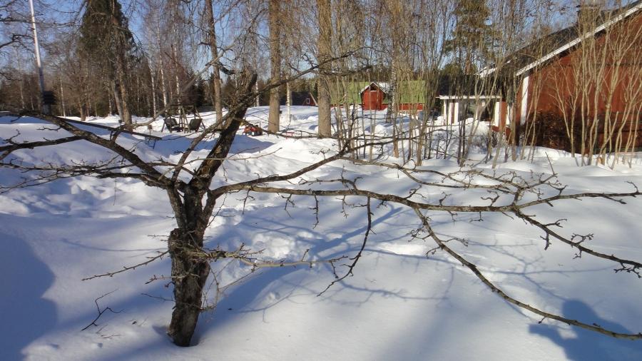 Tänään päivällä piipahdin myös Kuosmasilla Leppälahdessa. Tämä puu on erikoisuus - keltainen orapihlaja. Oletteko koskaan kuulleet ja nähneet? Puu on todella vanha ja todennäköisesti talon menneen isännän Yrjö Sakari Yrjö-Koskisen puolison istuttama. Nyt tavoitteeni saada tämä puu uuteen kasvuun eli katsotaan onnistuuko soluista tai sitten muulla keinoin. Tänään hain muutaman oksan.