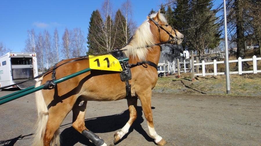 Ja tässä upea ravurini Ypäjä Eliitti. Nuori ja uljas hevonen jolla vielä ravistartit harjoitus- ja koelähtöä lukuunottamatta edessä.