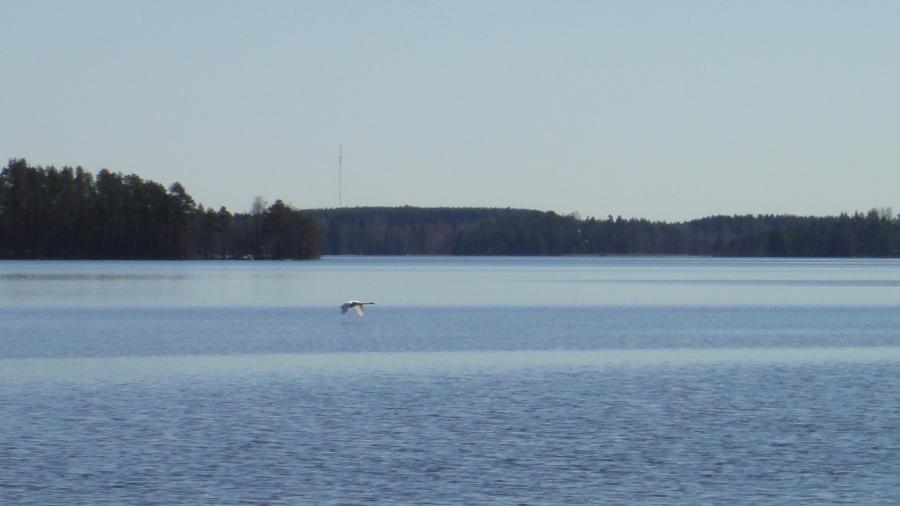 Aamulla ehdin hetkeksi ihastelemaan keväistä luontoa. Joutsen esitti upean näytelmän Loppijärvellämme. Mahtavia hetkiä.