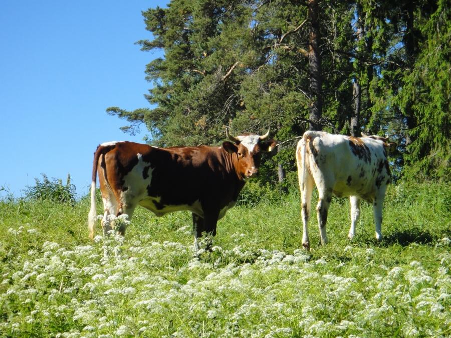 Tällaisista maisemista tänään kohti Helsinkiä. Olipa hieno päivänavaus, kun lehmät tervehtivät aamuauringossa.