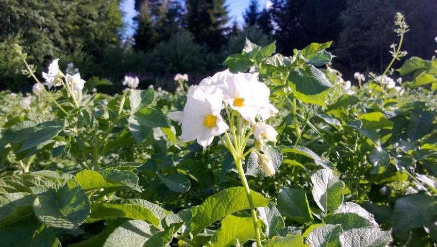 Lopen Peruna upeassa kukassa Niitulla. Maan parasta perunaa saa siis talvellakin.