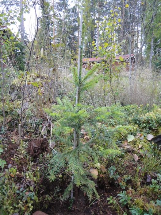 Ja muistoksi tästä päivästä istutin arboretumini Serbiankuusen lisää.