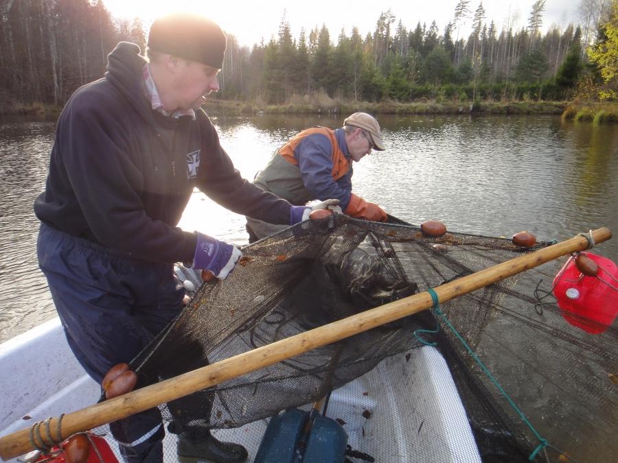 Loppijärven hoitokalastustalkoot Vanhakoskella jatkuvat tänäkin syksynä. Kalaa nousee joka päivä useampi tonni. Tänään saldo noin 4 tonnia ja syksyn saalis 15 000 kg. Veneen kokassa talkoinen päämestari Markku Ahlqvist joka tekee tänäkin syksynä suunnattamon talkootyön hoitokalastuksen parissa. Apuna Simo Jousimaa.