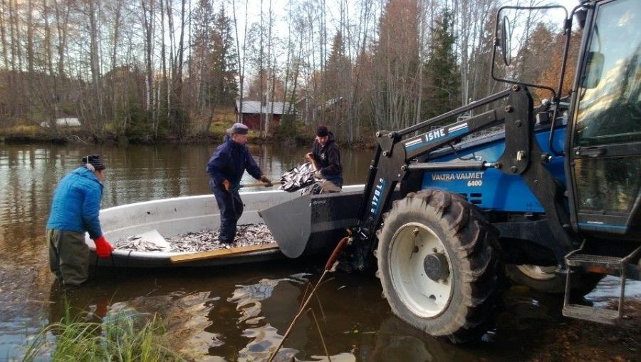 Ja veneestä sitten Tuomas Pietilän traktorilla kalat lavalle ja ensi viikolla toinen kuorma Luvialle.