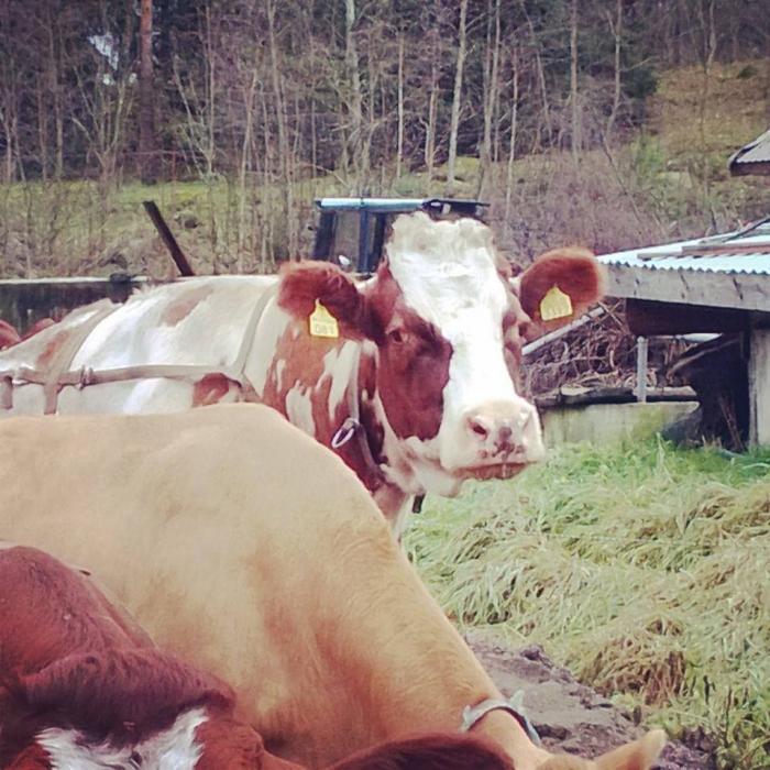 Ja tässä hän nyt sitten on. Portaankorvan toinen, tämän vuoden 100 tonnin lehmä... Bella! Satatonnareiden lehmien eliittiklubiin!