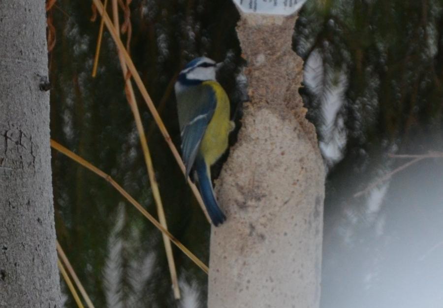 Sinitiainen ja käpytikkakin naputteli viereisen puun latvassa.