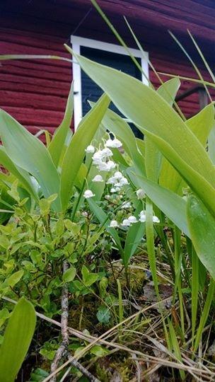 Kielojen vuoro kukkia 6 asteessa.