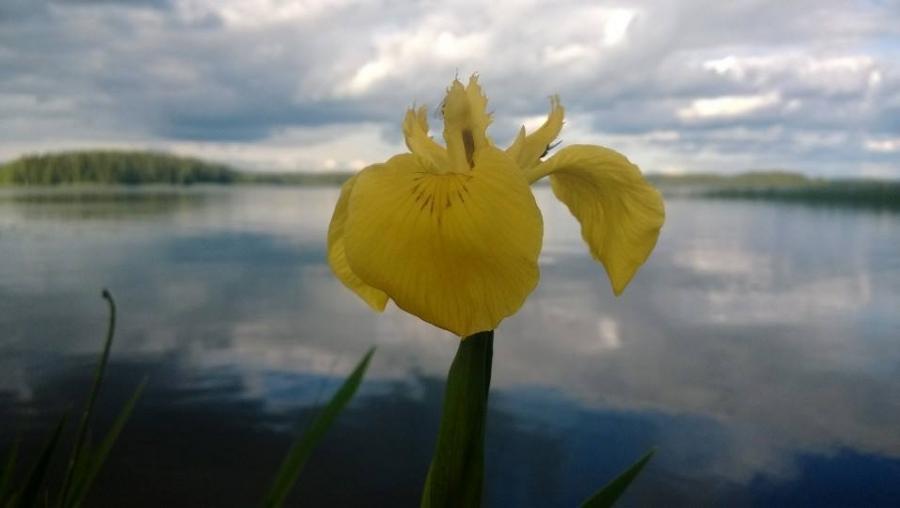 Torkin Kurjenmiekat kukassa Pekkalassa. Mittumaaria.