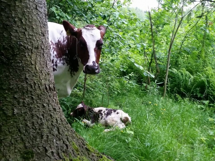 Ja tässä eiliseltä Liisan kuva missä Huippu ja tytär heti syntymän jälkeen metsäniityllä.