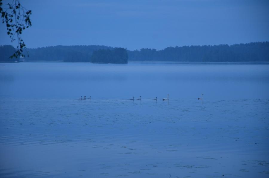Loppijärven Kivikarin joutsenilla seitsemän poikasta. Kaunis hetki.