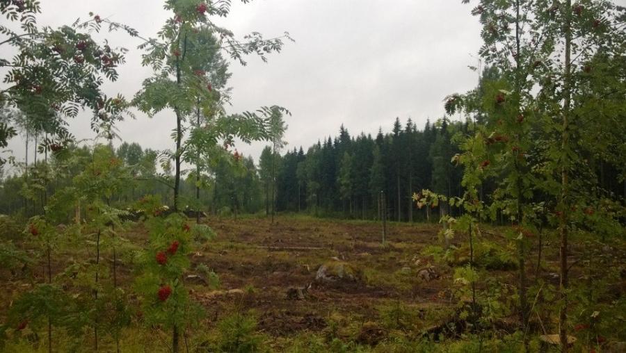 Ja tältä tuo hakkuun isompi alue nyt näyttää. Risut on kerätty pois ja pian paikka kasvaa uutta metsää. Samalla olemme kunnassa myös linjanneet, että jatkossa Iso-Korkeen ja Pikku-Korkeen aluetta hoidetaan jatkuvasti tietynlaisella lähimetsäperiaatteella eli metsää uudistetaan koko ajan niin, että aukkohakkuille ei enää tulevaisuudessa tule pakottavaa tarvetta.