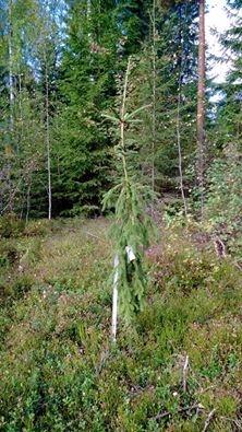 Surukuusi Pekkalan puulajimetsässäni.