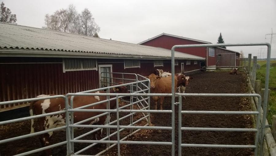 Ja lehmät siis pääsevät käytännössä aina halutessaan myös ulkoilemaan.
