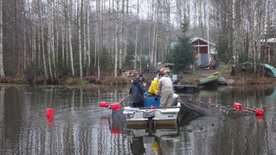 Hoitokalastus jatkuu Loppijärven Isojoella vielä ainakin alkavan viikon. Särkeä ja lahnaa ylös.