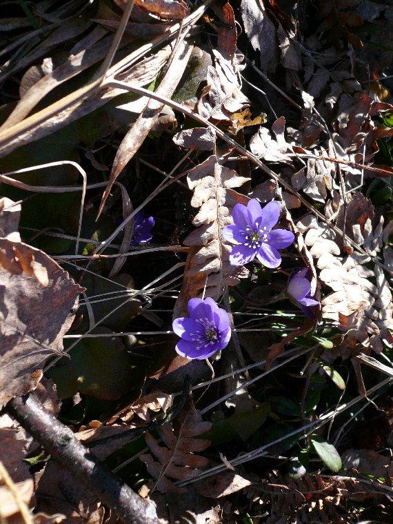 Kevään ensimmäiset sinivuokot näin tänään Pekkalan mökillä. Ehkäpä jo aiemminkin olisi löytänyt, mutta tänään pihahommiin vasta ehdin ja siinä samalla kevään merkkejä bongailin. Kurkia tänäänkin iso aurallinen kohti pohjoista.