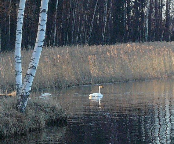 Joutsenpari Loppijärvellä 22.4.2007. Itseasiassa tuossa takana olevassa kaislikossa kurki jo pesintäpuuhissa. Joutsenten pesä läheisellä Kivikarilla.