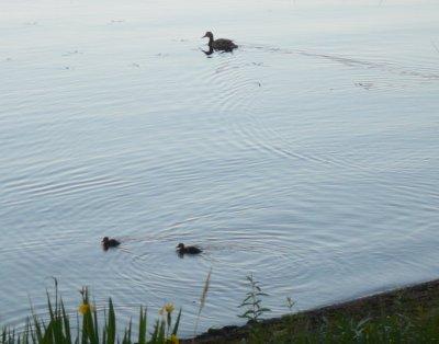 Sorsalla jo poikaset Loppijärvellä. Tosin vain kaksi pientä.