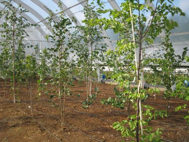 Näin puut kasvata noin vuoden 2030 ilmastossa.
