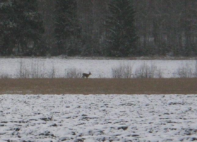 Luontokin valmistautuu jo talveen. Yksinäinen sarvipää pellolla haki vielä viimeisiä kauransiemeniä ennen kuin lumi peittää maan. Loppijärvellä vielä joutsenet huusivat muuttohuutojaan.