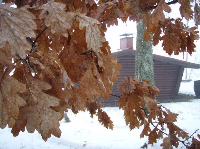 Nyt jo tammikuukin mennyt, mutta Pekkalan saunatammessa edelleen lehdet. Joskus joku kertonut, että tästä juuri tammikuun nimi, että vasta kevät vanhat lehdet pois pudottaa. Mene ja tiedä.