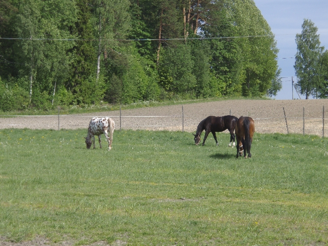 Kesä toi myös niityt hevosille. Tänään koululaiset myös kesälaitumille.
