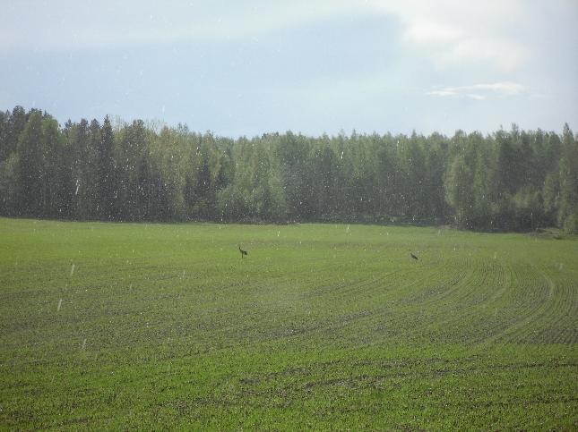 ... ja myös kurjet saivat nauttia kasvavasta viljasta ja pikku sateesta.