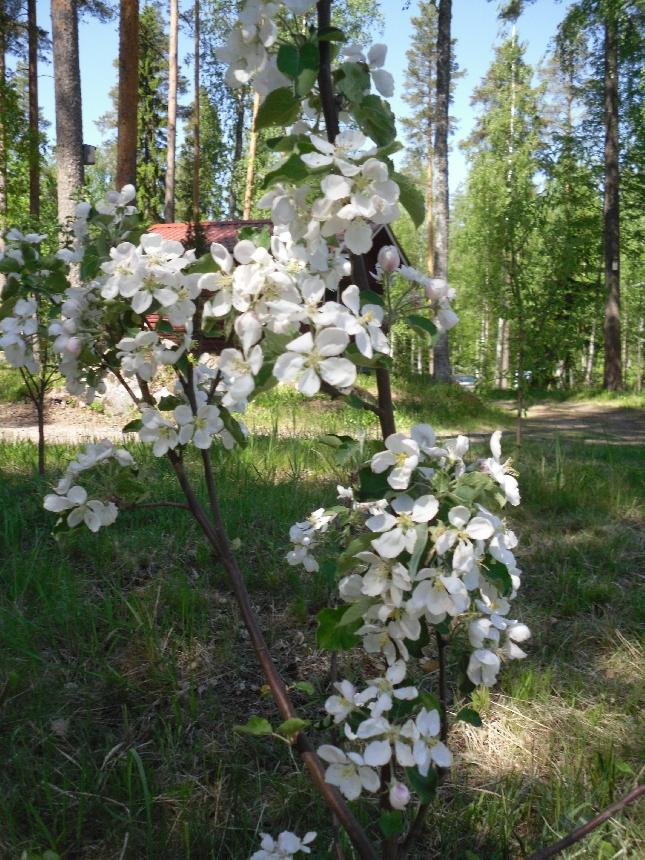 Pekkalan omenapuu nautti myös hellepäivästä. Luumupuun kukinta jo ohi.