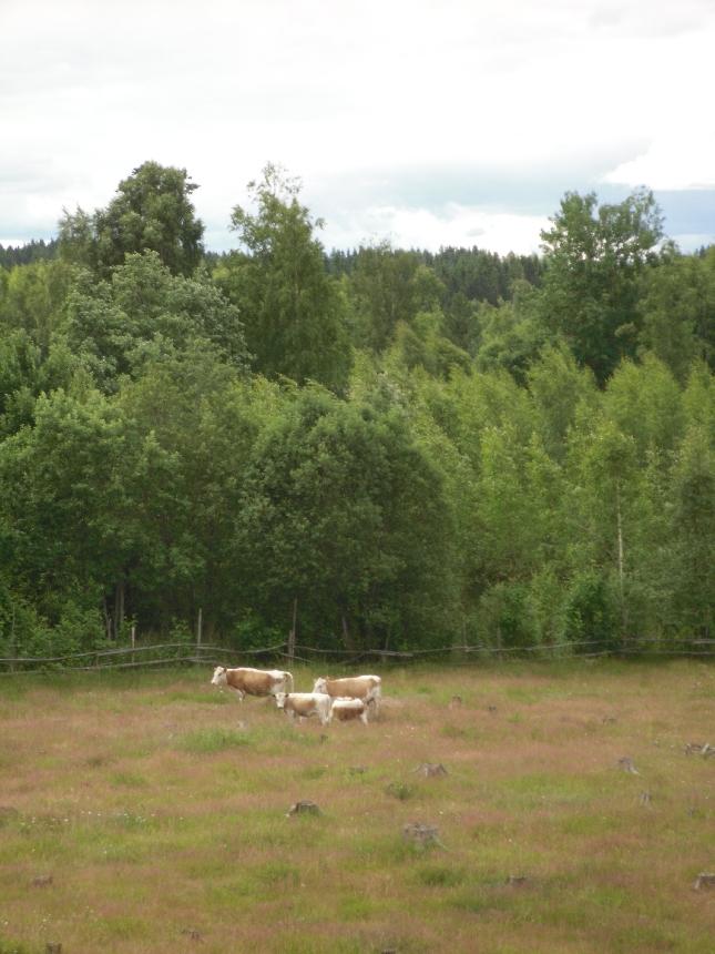 Lopen alkuperäiskarjaa Pappilanpuiston niityllä.