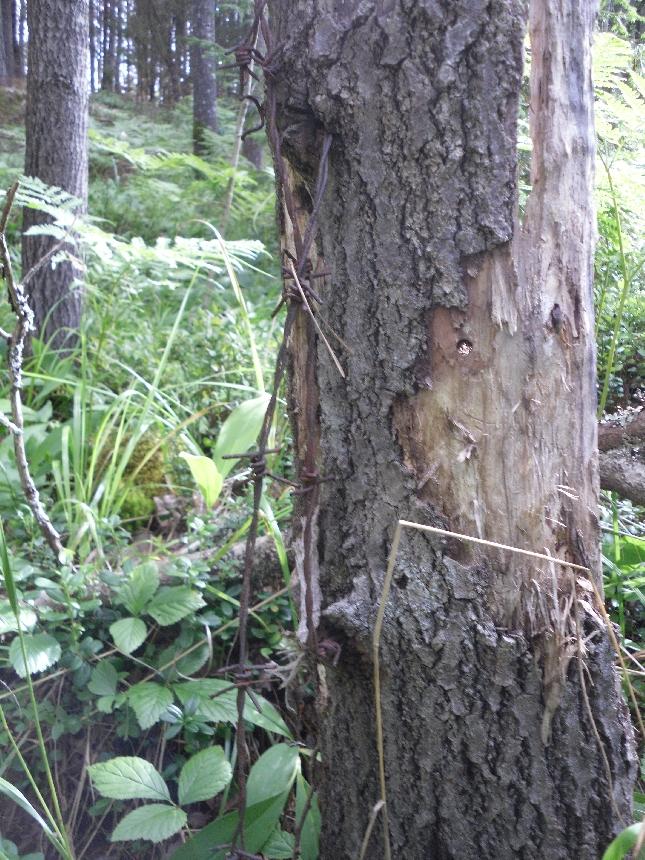 Piikkilankaa suomalaisissa metsissä riittää. Sen poiskerääminen eläinten kannalta hyvin tärkeää ja meidän kaikkien metsänkäyttäjien ja jokamiehen oikeuksista nauttivien jopa minusta velvollisuus.