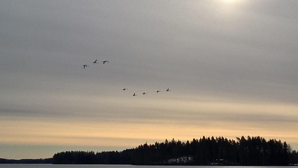 Aamulla kävin Pekkalassa vielä Eijaa muistamassa. Joutsenet tekivät upean kuin kiitoslennon rannastamme torvet soiden.